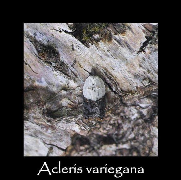 T Acleris variegana 2