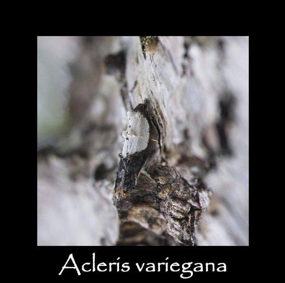 T Acleris variegana 3