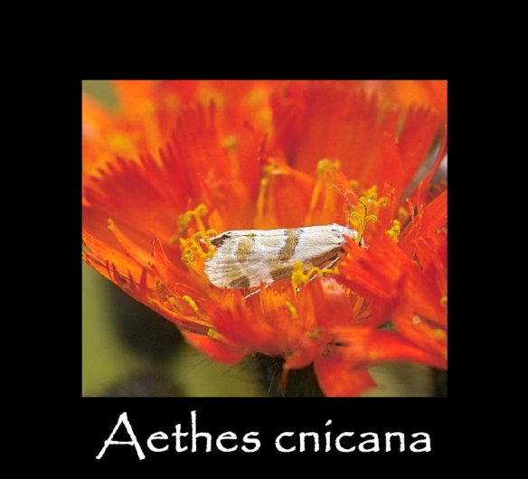 T Aethes cnicana 2