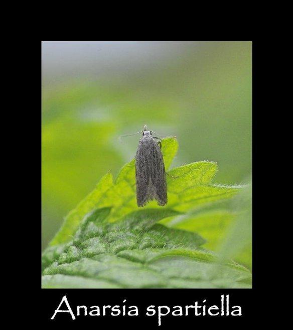 T Anarsia spartiella