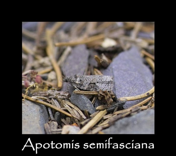 T Apotomis semifasciana 2 jpg