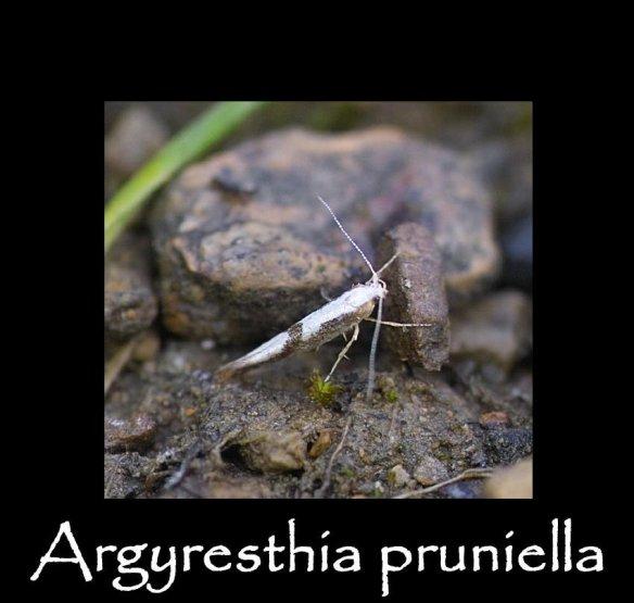 T Argyresthia pruniella (2)