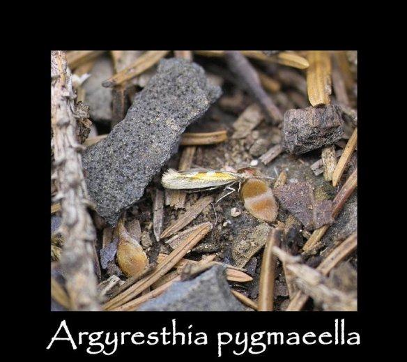 T Argyresthia pygmaeella
