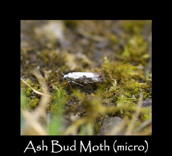 T Ash Bud Moth (micro)