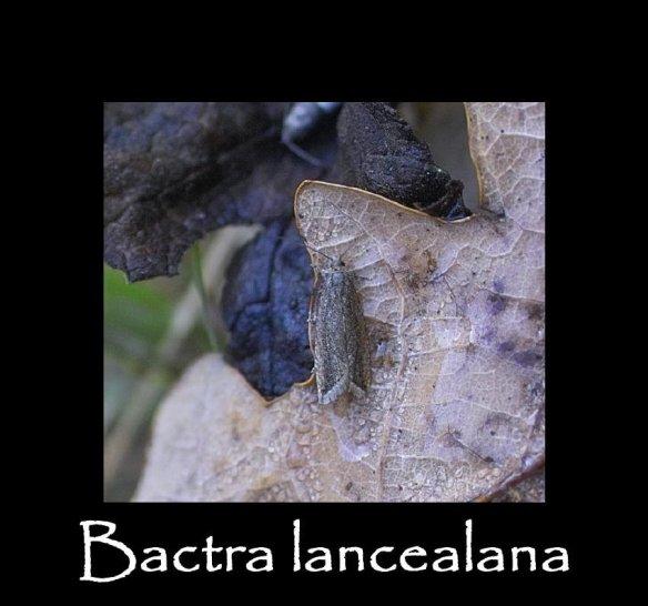 T Bactra lancealana 2 (2)