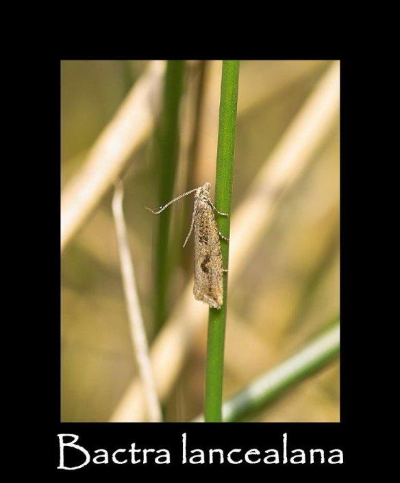 T Bactra lancealana