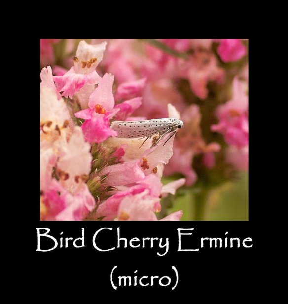 T Bird Cherry Ermine (micro) (2) (2)