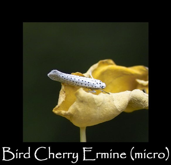 T Bird Cherry Ermine (micro) (3)