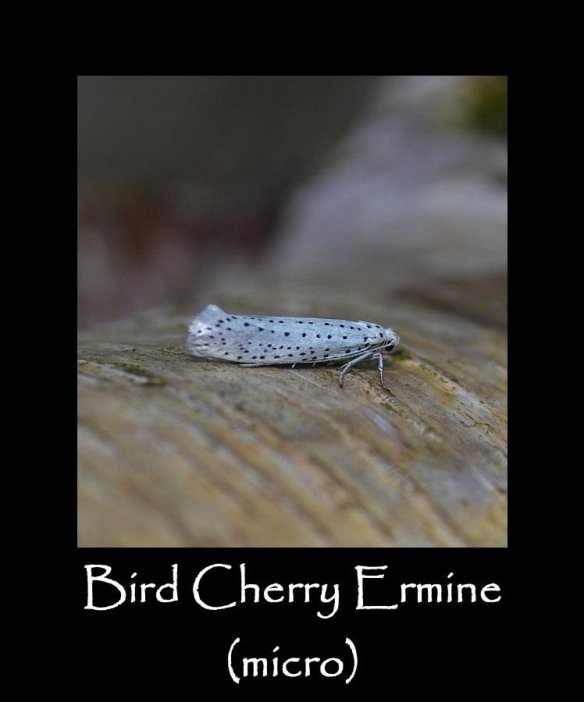 T Bird Cherry Ermine (micro)