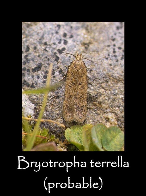 T Bryotropha terrella (probable)