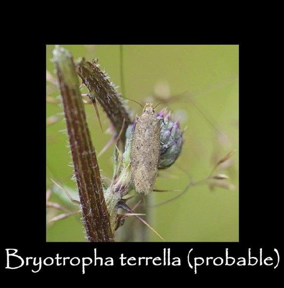 T Bryotropha terrella ( probable )