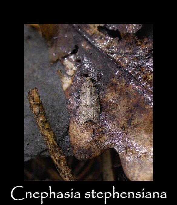 T Cnephasia stephensiana