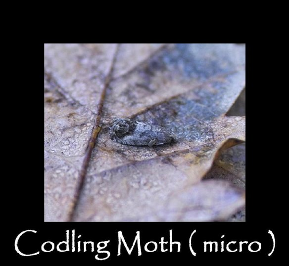 T Codling Moth (micro ) 2 (2)