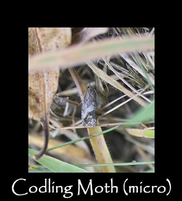 T Codling Moth (micro) (2)