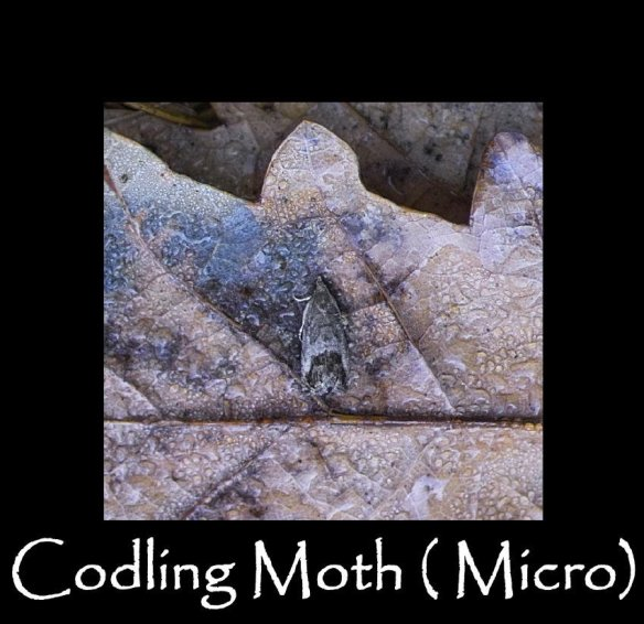 T Codling Moth ( micro ) (2)