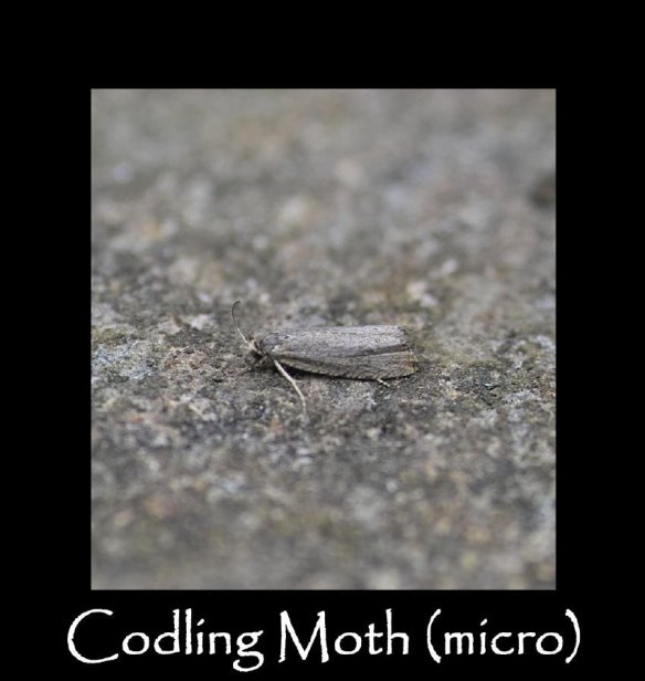 T Codling Moth (micro)