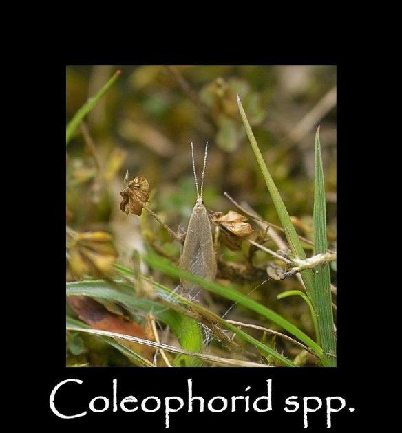T Coleophorid spp 2