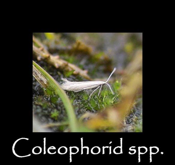 T Coleophorid spp