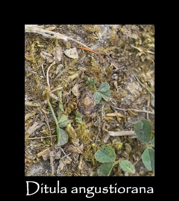 T Ditula angustiorana