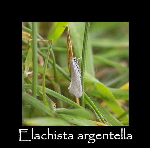 T Elachista argentella