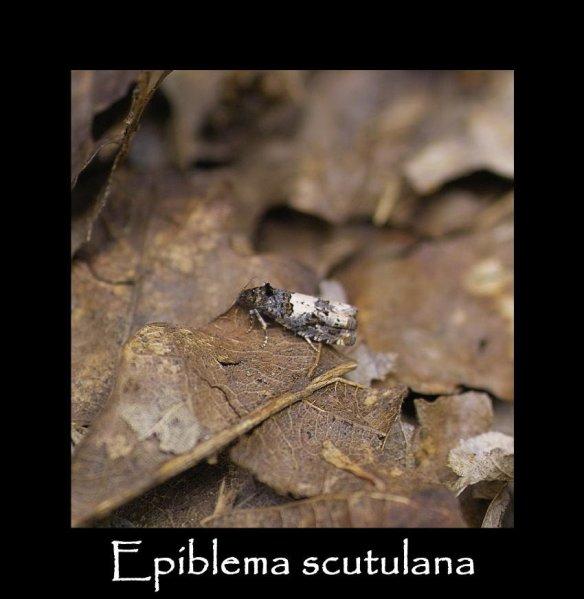 T Epiblema scutulana 2 (2)