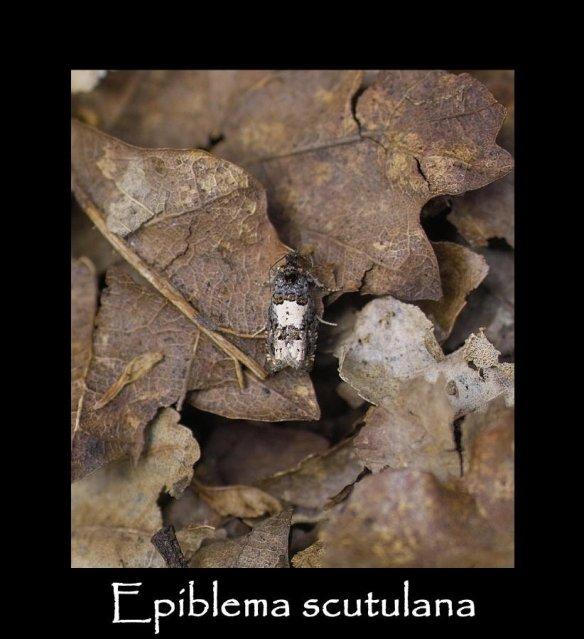 T Epiblema scutulana (2)