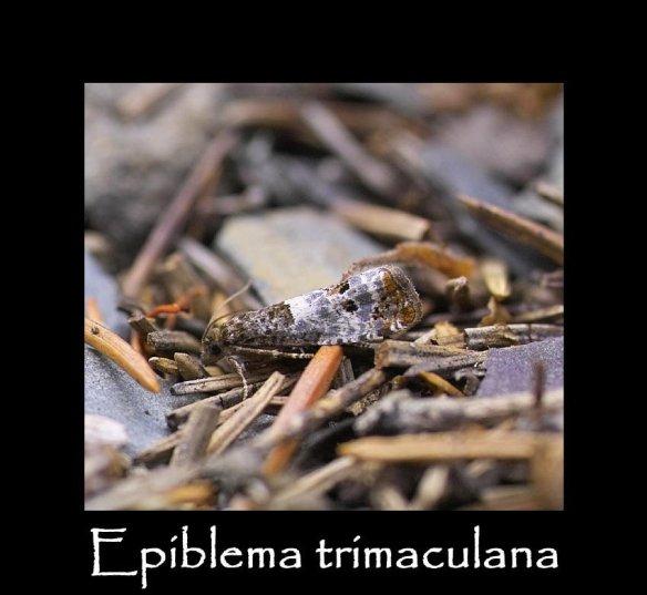 T Epiblema trimaculana