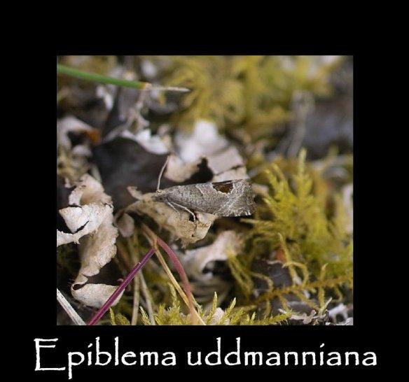 T Epiblema uddmanniana
