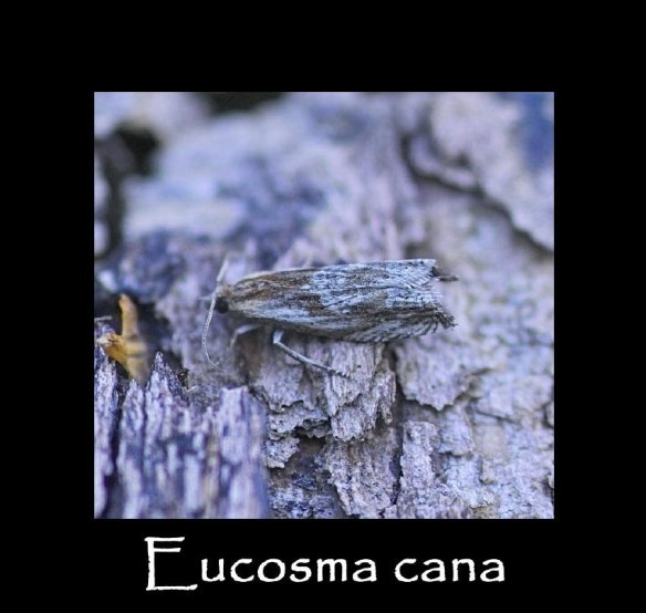 T Eucosma cana 2