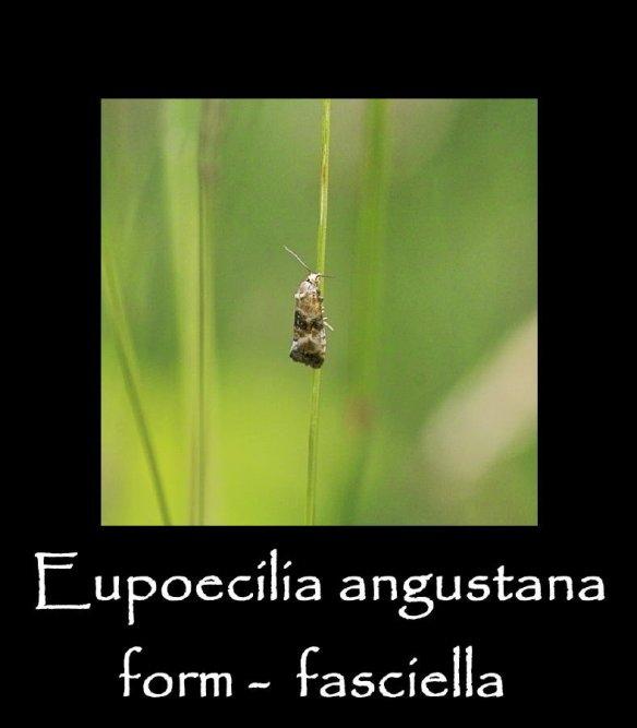 T Eupoecilia angustana form fasciella