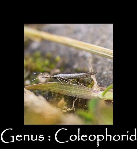 T Genus - Coleophorid 2