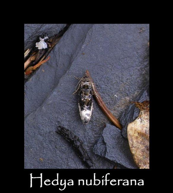 T Hedya nubiferana 2