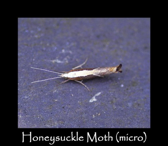 T Honeysuckle Moth (micro) (2)