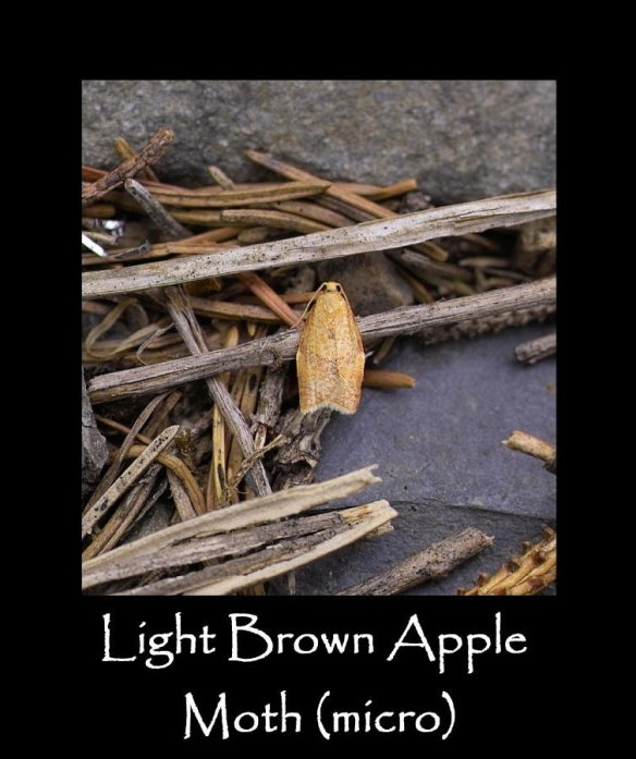 T Light Brown Apple Moth (micro)