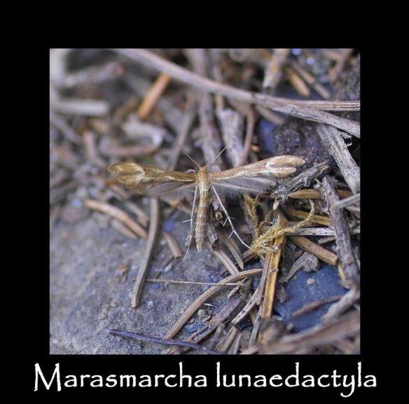 T Marasmarcha lunaedactyla