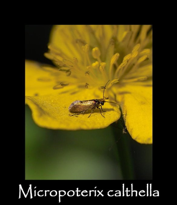 T Micropoterix calthella