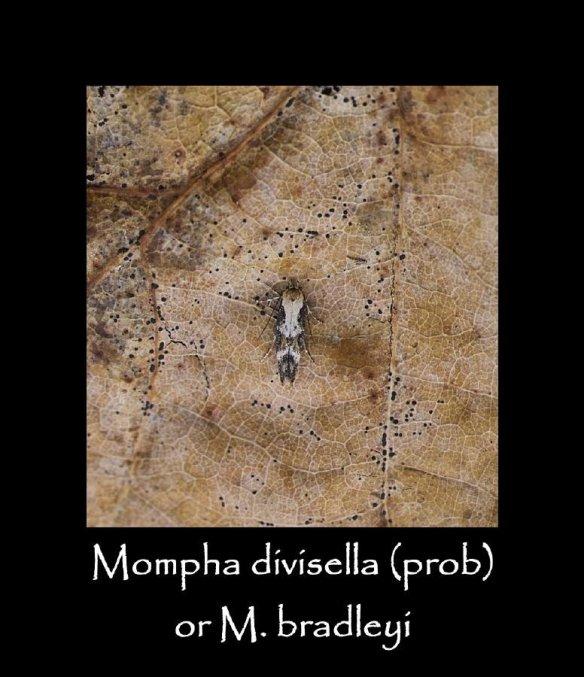 T Mompha divisella prob 2