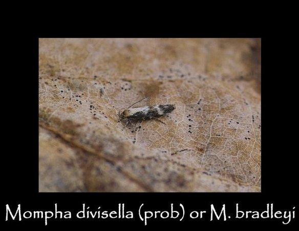 T Mompha divisella prob