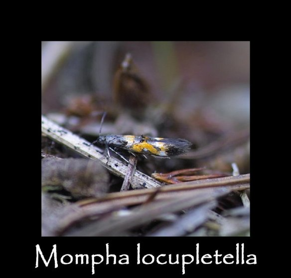 T Mompha locupletella 2 (2)