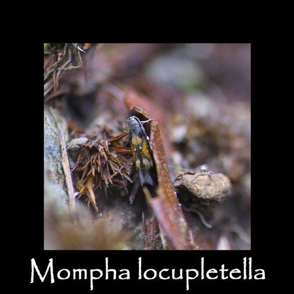 T Mompha locupletella (2)