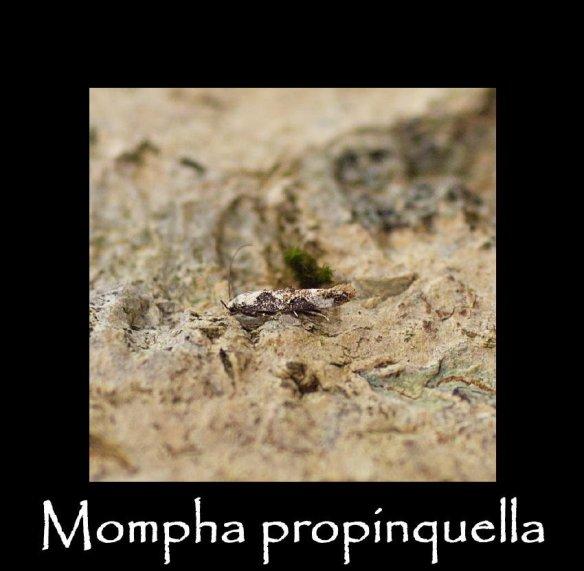 T Mompha propinquella 2 (2)