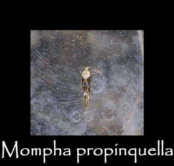 T Mompha propinquella (2)