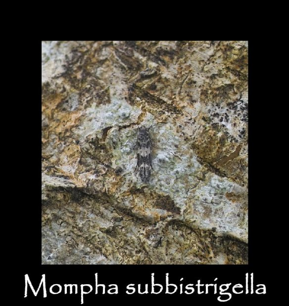 T Mompha subbistrigella 2