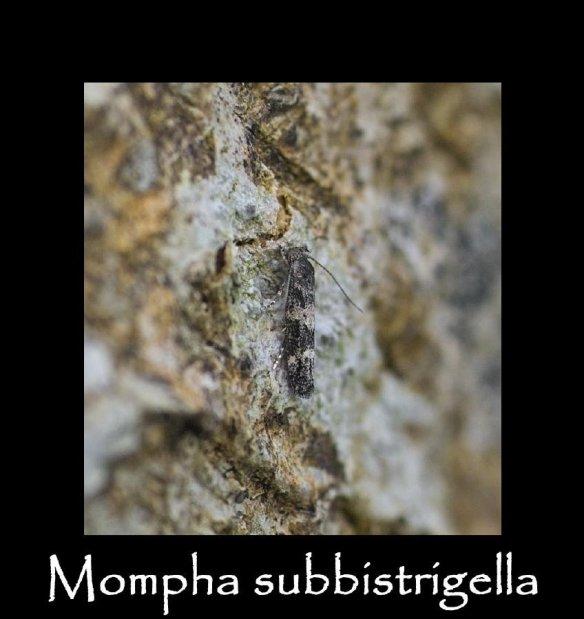 T Mompha subbistrigella