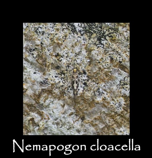 T Nemapogon cloacella (2)