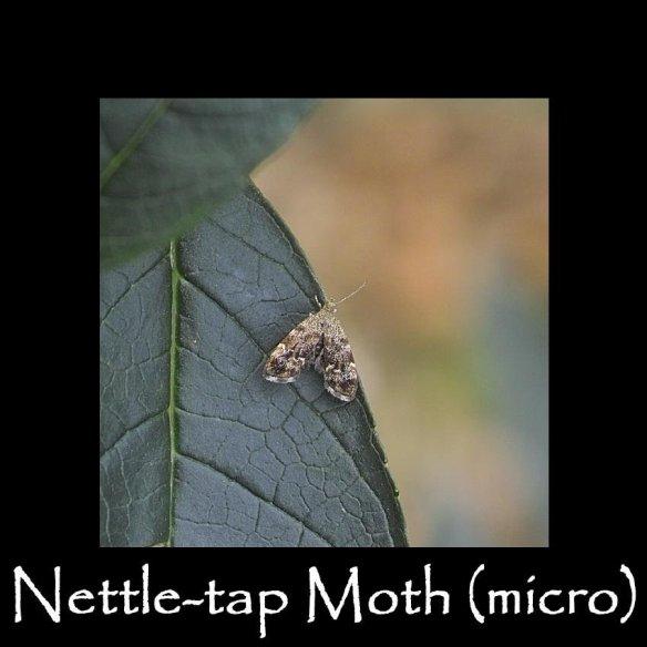 T Nettle-tap Moth (micro)