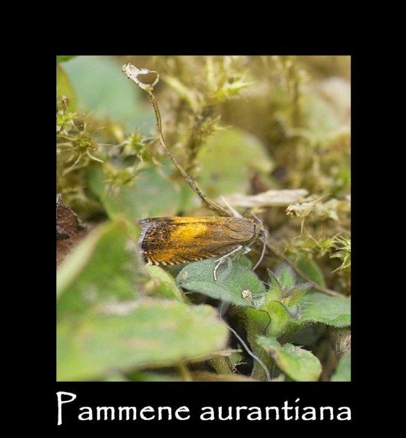 T Pammene aurantiana