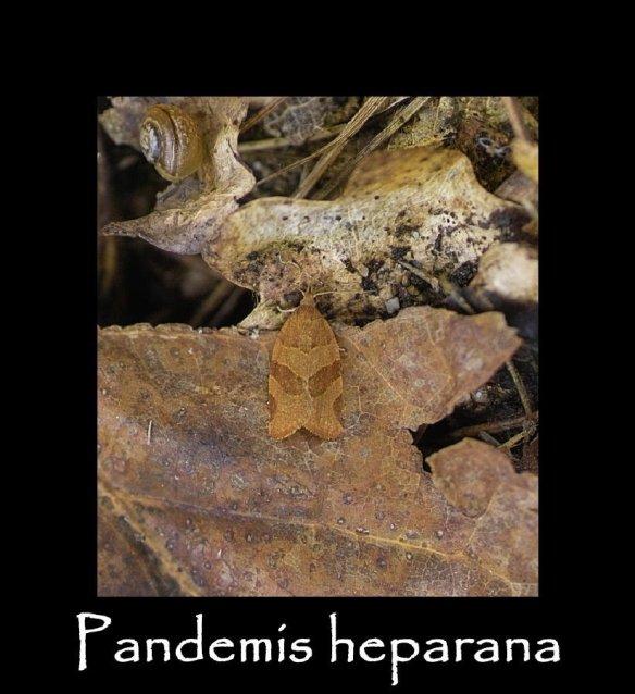 T Pandemis heparana