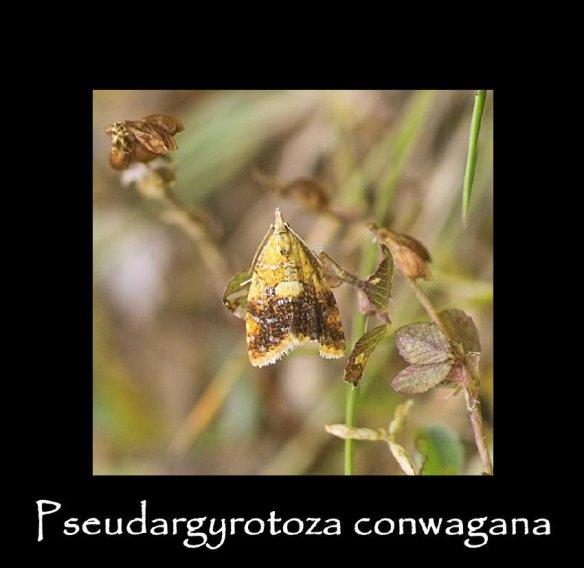 T Pseudargyrotoza conwagana (2)