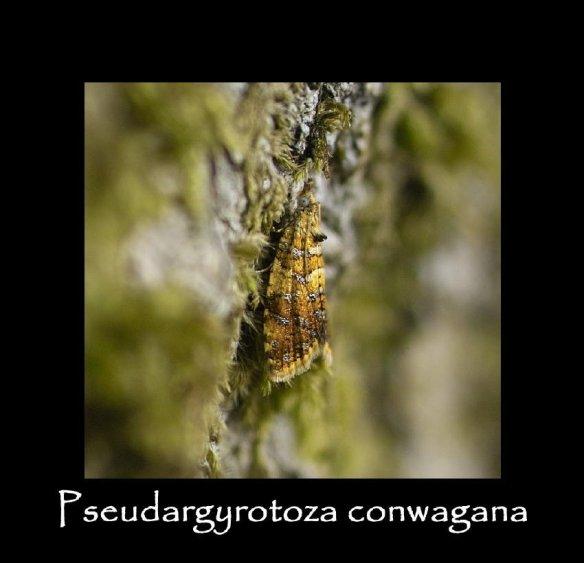 T Pseudargyrotoza conwagana 4